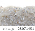 しらす 生しらす 稚魚の写真 23071451