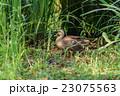 鴨 かるがも 鳥の写真 23075563