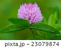 紫詰草 赤クローバー 花の写真 23079874