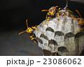セグロアシナガバチ アシナガバチ 蜂の写真 23086062