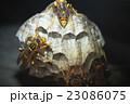 セグロアシナガバチ アシナガバチ 蜂の写真 23086075