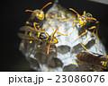 セグロアシナガバチ アシナガバチ 蜂の写真 23086076