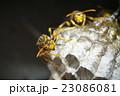 セグロアシナガバチ アシナガバチ 蜂の写真 23086081