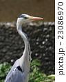 鷺 蒼鷺 コウノトリ目の写真 23086970