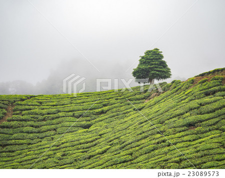 Boh Tea plantation in Cameron highlands 23089573