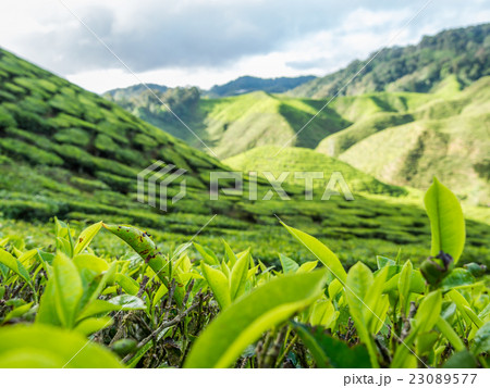 Tea plantation in the Cameron highlands 23089577
