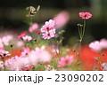 コスモス 秋桜 アゲハチョウの写真 23090202