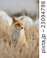 キタキツネ 狐 冬の写真 23094798