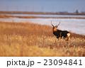 冬の野付半島を歩くオスのエゾシカ 23094841