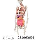 人体標本 女性の骨格と内臓イメージ perming3DCGイラスト素材 23095054