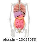 人体標本 女性の骨格と内臓イメージ perming3DCGイラスト素材 23095055