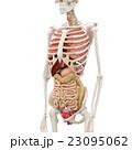 人体標本 女性の骨格と内臓イメージ perming3DCGイラスト素材 23095062