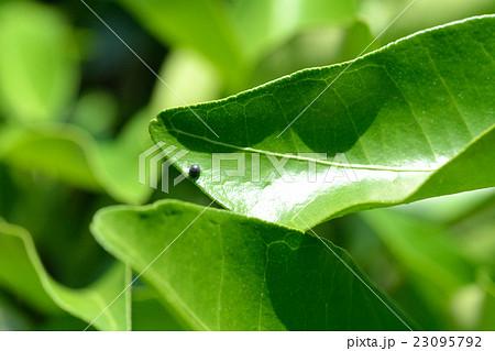 柚子の葉のアゲハチョウの卵 23095792