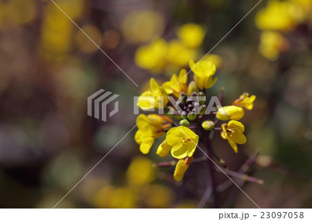 紅菜苔の花 23097058