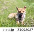 野生の狐 北海道 23098087