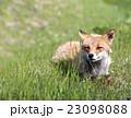 野生の狐 北海道 23098088