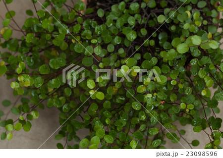 緑のワイヤープラント, ガーデニング 23098596