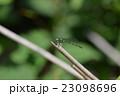 希少種のグンバイトンボ 23098696