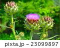 アーティチョークの花 23099897