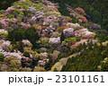 山桜 春 桜の写真 23101161