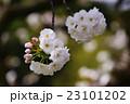 八重桜 白妙 桜の写真 23101202