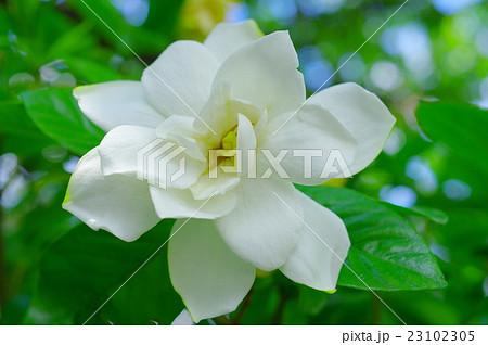 大八重クチナシの花 23102305