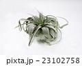 チランジア キセログラフィカ 23102758
