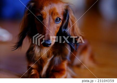 犬 ドイツダックス マホガニーレッド 23104359