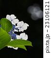 紫陽花 23106121