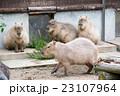 カピバラ げっ歯類 動物園の写真 23107964