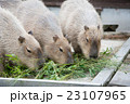カピバラ げっ歯類 動物園の写真 23107965