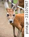 カンガルー 有袋類 動物の写真 23107967