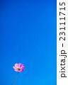 青空とコスモス 23111715
