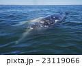 コククジラ 23119066