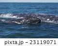 コククジラ 23119071