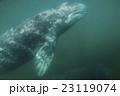 コククジラ 23119074