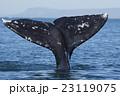 コククジラ 23119075