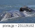 コククジラ 23119102
