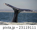コククジラ 23119111