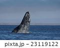 コククジラ 23119122