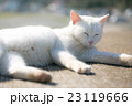 寝る白猫 23119666