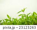 新緑の水滴オカメザサ 23123263