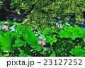 蓮 大賀蓮 花の写真 23127252