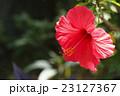 ハイビスカスの花 23127367