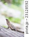 爬虫類 イグアナ 動物の写真 23128592