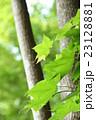 新緑のカエデと幹 23128881