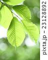 新緑の葉、アップ、玉ボケ 23128892