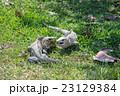 イグアナ 爬虫類 動物の写真 23129384
