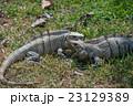 イグアナ 爬虫類 動物の写真 23129389