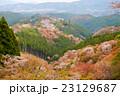 吉野山 千本桜 23129687